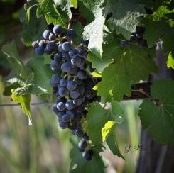 8_1 Sunlit Vines